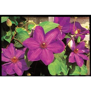 1-Gallon Clematis Assorted Vines