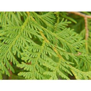 Fresh-Cut Christmas Western Cedar Bough - 1,5lb