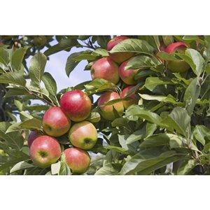 5-Gal 4-in-1 Apple Tree