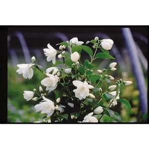 2-Gal White Assorted Mock Orange