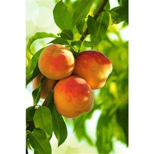 5-Gal Assorted Peach Tree