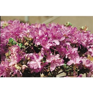 1-Gallon Assorted Rhododendron