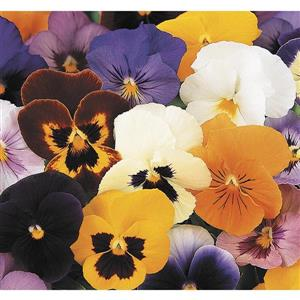 Lawn and Garden Products 6-Pack Pansy (L5048)