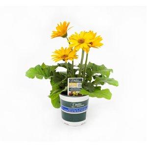 "4.7"" Garden Treasures Gerbera Daisy"