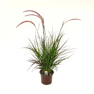 "6"" Red Rubrum Grass"