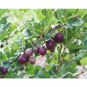1-Gal Assorted Gooseberry