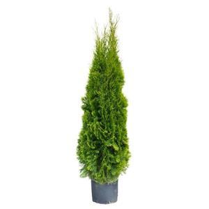 7 Gallon 5 - 6' Emerald Cedar