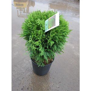 1-Gal Globe Cedar